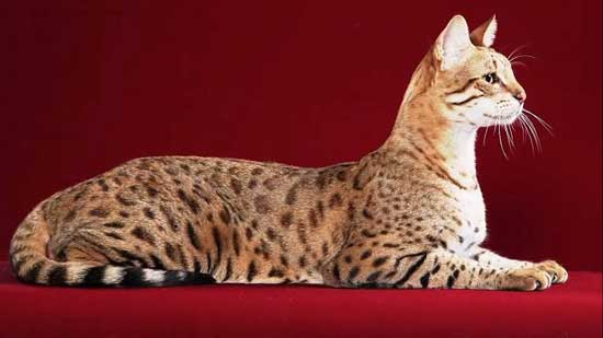 Ashera Cat most expensive cat in the world